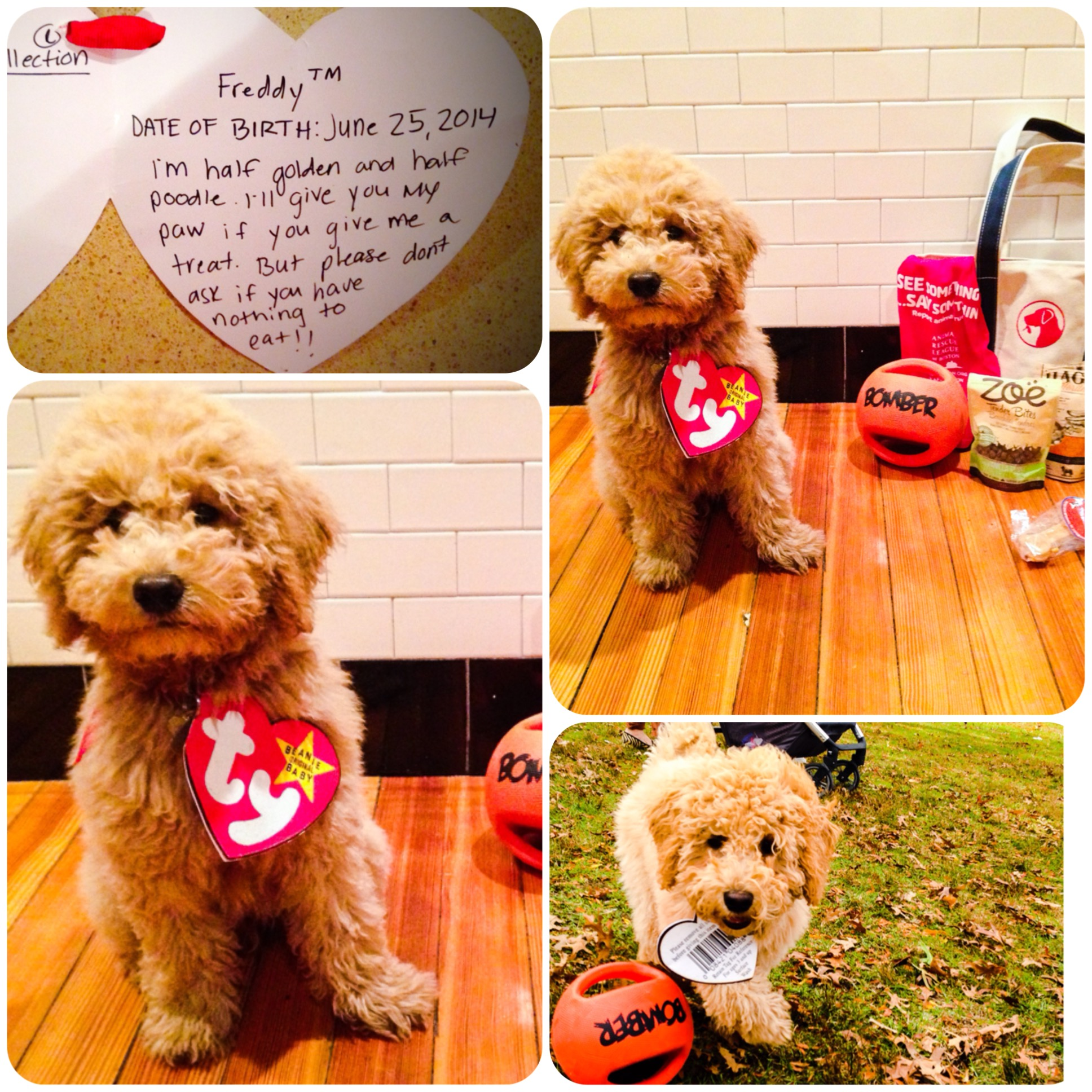 A Real Beanie Baby – my goldendoodle on Halloween – You Bet Your Pierogi a8b447efe656