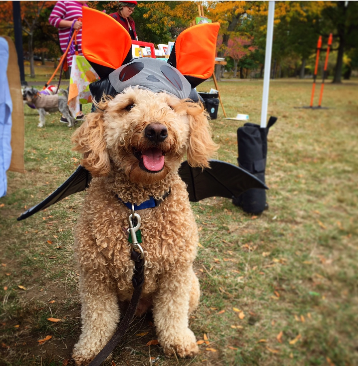 Goldendoodle Costume Goldenacresdogs
