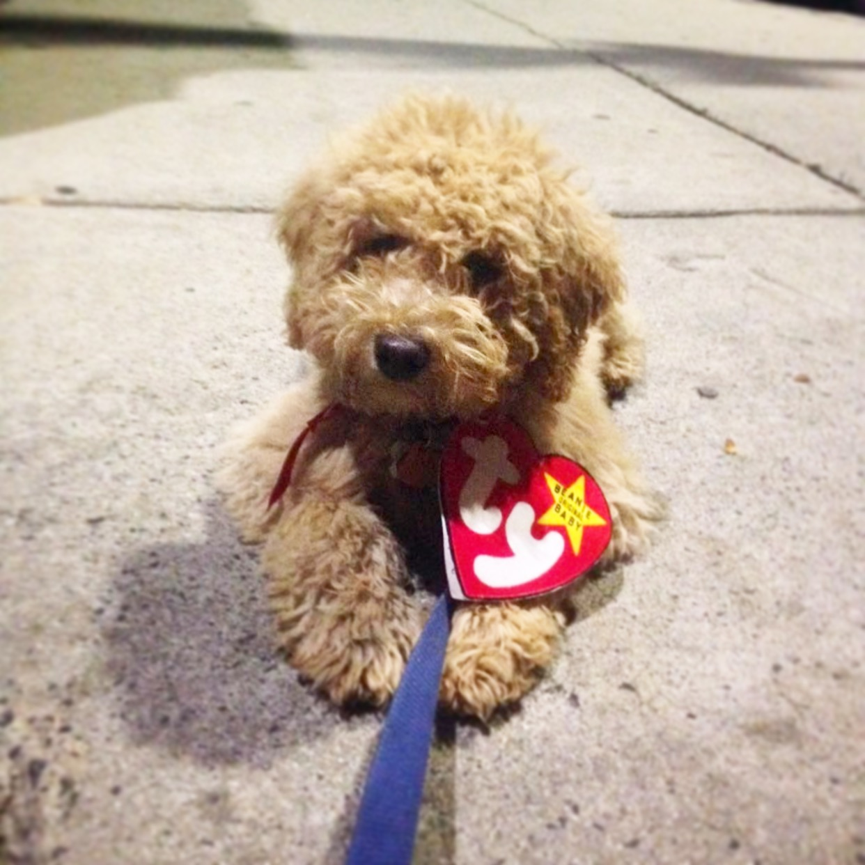 A Real Beanie Baby – my goldendoodle on Halloween 75f8e5b69604
