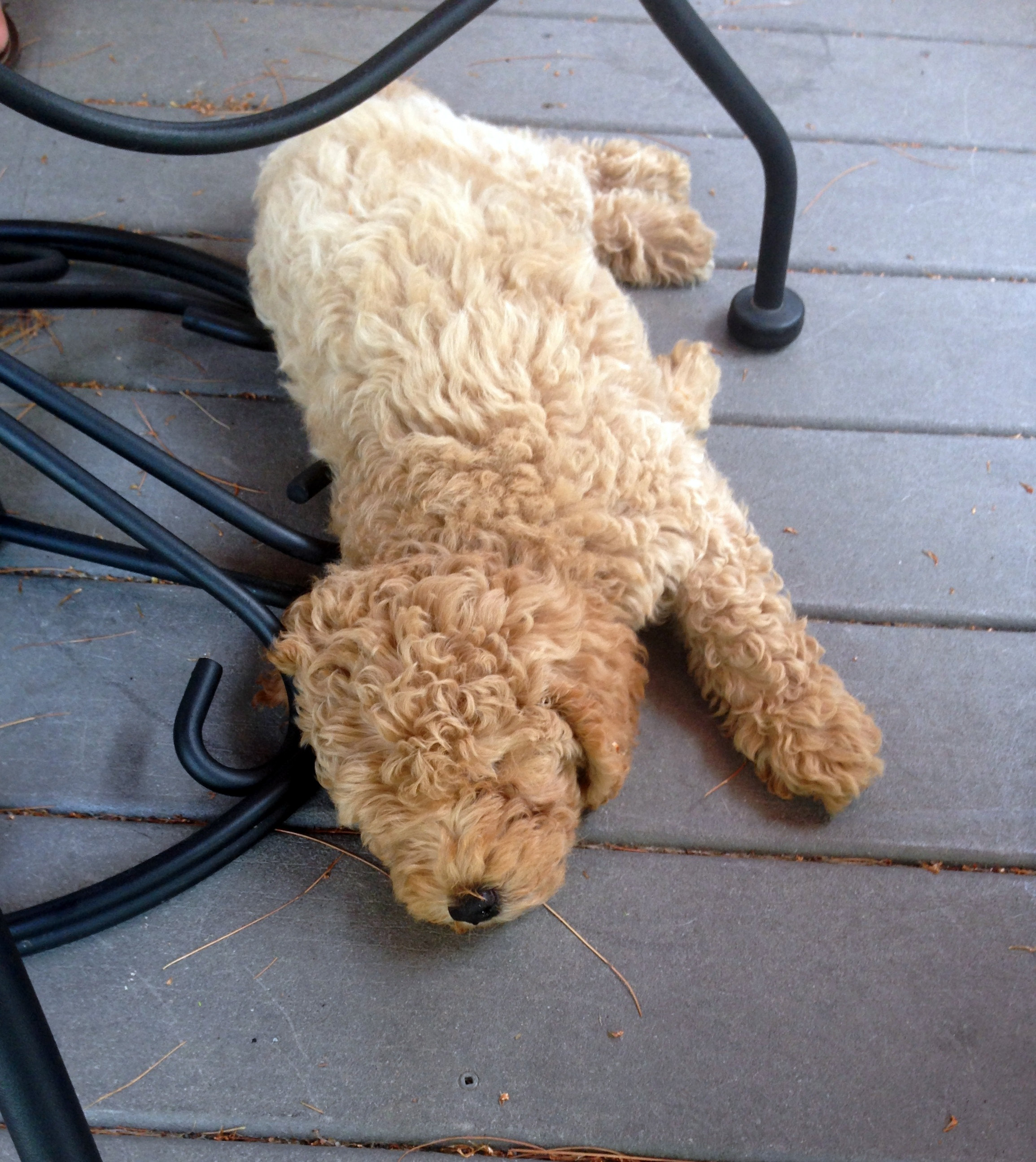 Sharing How When Where I Got My Mini Goldendoodle You Bet Your